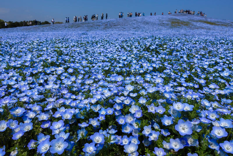 Nemophila-Blumenfeld in voller Blüte, Japan stockfotografie