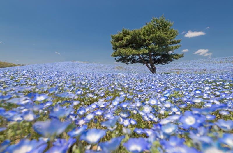 Nemophila, campo de flores azul imagen de archivo libre de regalías