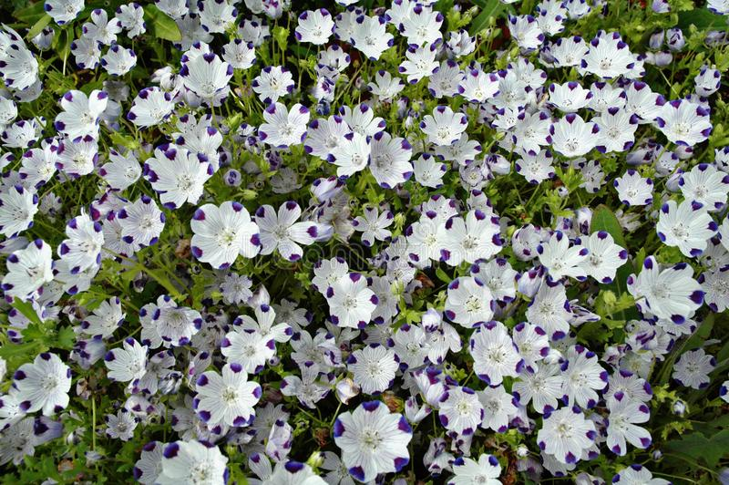 Nemophila flowers in bloom stock photo