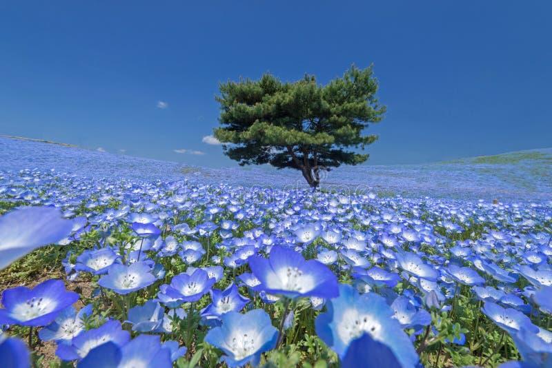 Nemophila, giacimento di fiore al parco di spiaggia di Hitachi fotografie stock libere da diritti