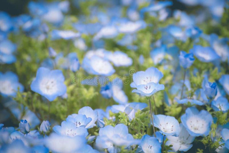 Nemophila, gisement de fleur au parc de bord de la mer de Hitachi au printemps, le Japon images libres de droits