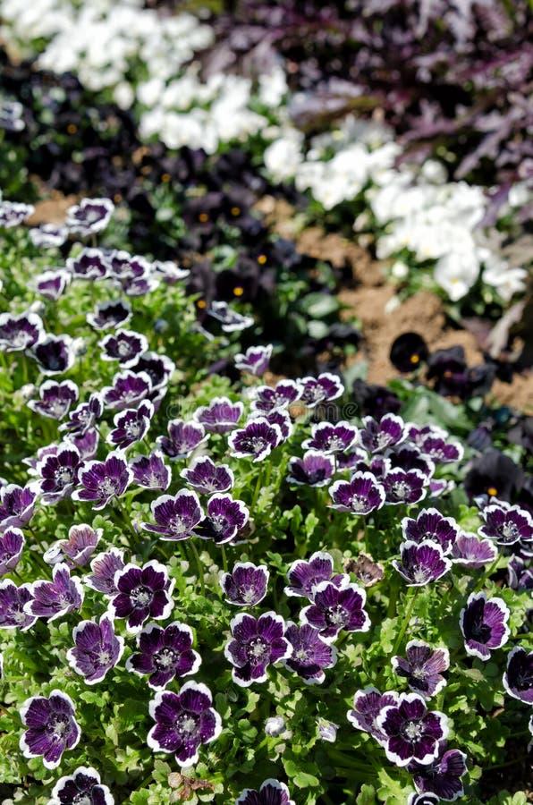 Free Nemophila Menziesii Stock Image - 41146431