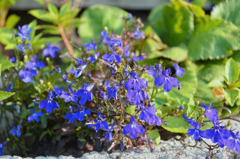 Nemophila wiosny kwiat fotografia stock