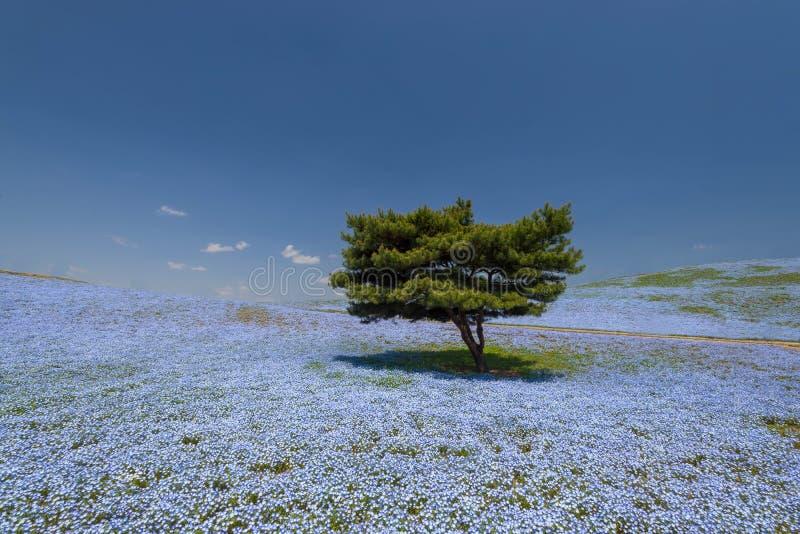 Nemophilabloem bij Hitachi-Kustpark dat wordt ingediend royalty-vrije stock foto's