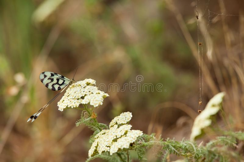 Nemoptera sinuata 保加利亚的狂放的本质 自由本质 r Rhodopes 草 山在保加利亚 库存图片