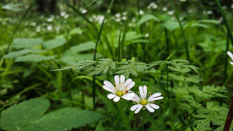 Nemorosa ветреницы ветреницы белых цветков в дикой природе На фоне зеленой растительности крупного плана листьев стоковые изображения rf