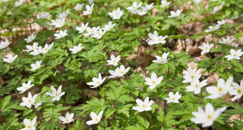 Nemorosa blanc d'anémone photo libre de droits