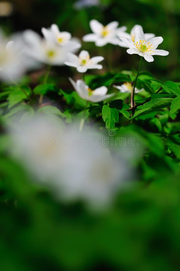 Nemorosa da anêmona, flores brancas da mola igualmente conhecidas como o windflower imagens de stock royalty free