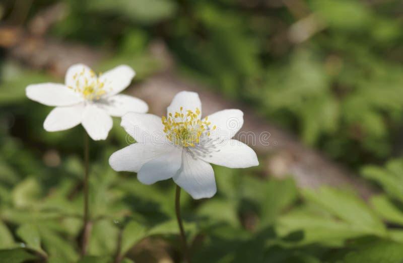 Nemorosa da anêmona, windflower fotografia de stock royalty free