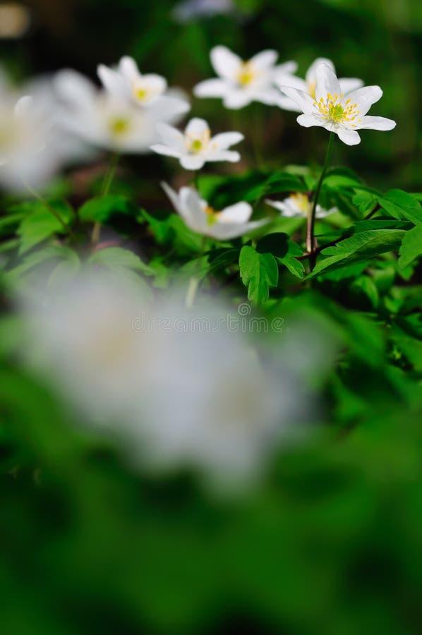 Nemorosa de la anémona, flores blancas de la primavera también conocidas como windflower imágenes de archivo libres de regalías