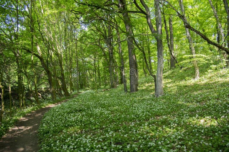 Nemosicka stran, grabowy las, ciekawy magiczny natury miejsce kwitnąć dzikiego niedźwiadkowego czosnku pełno, ścieżka rzut las zdjęcia royalty free