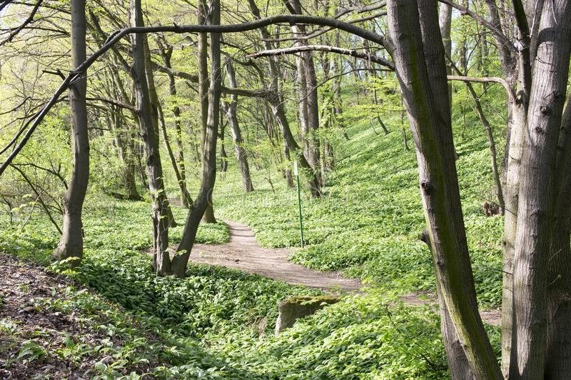 Nemosicka stran, hornbeam forest - interesting magic nature place full of wild bear garlic during the spring time stock image