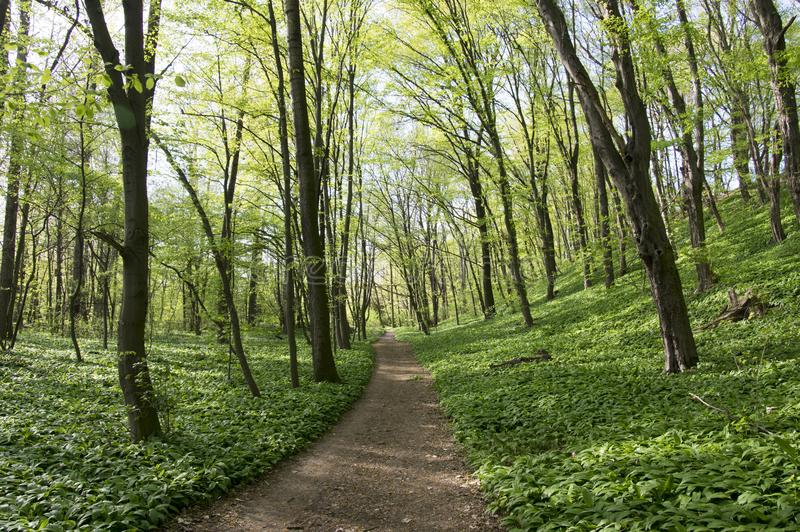 Nemosicka stran, hornbeam forest - interesting magic nature place full of wild bear garlic during the spring time. Path in the middle of picture, herbs foliage stock photo