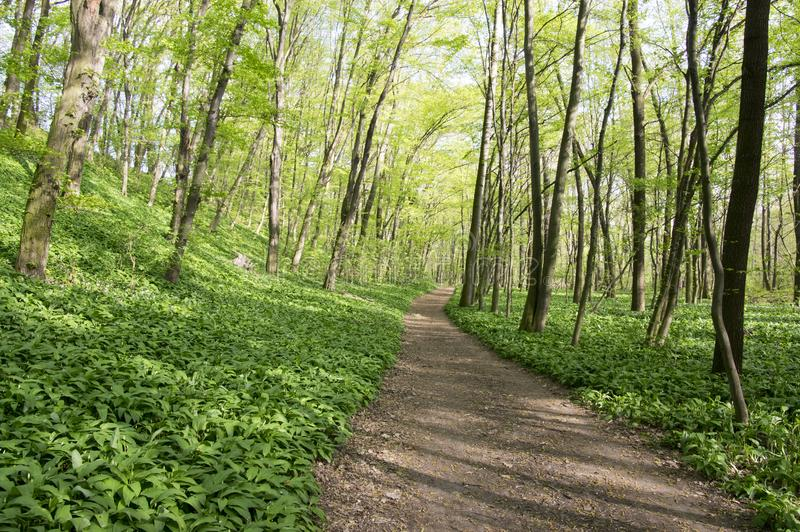 Nemosicka stran, hornbeam forest - interesting magic nature place full of wild bear garlic during the spring time stock images