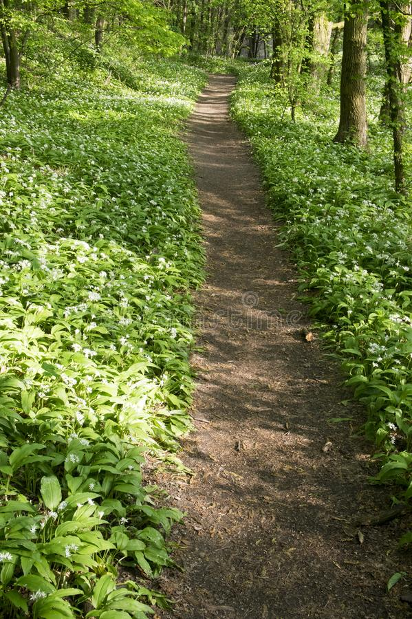Nemosicka stran, hornbeam forest - interesting magic nature place full of wild bear garlic during the spring time stock photography
