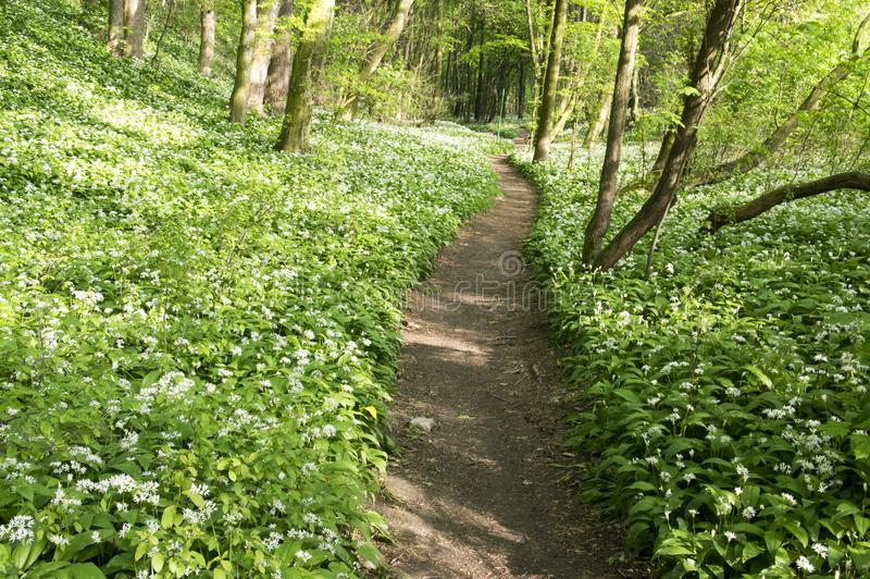 Nemosicka stran, hornbeam forest - interesting magic nature place full of wild bear garlic during the spring time royalty free stock photos