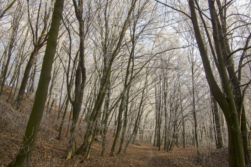 Nemosicka stran, hornbeam forest - interesting magic nature place in winter temperatures, frozen tree branches stock photos
