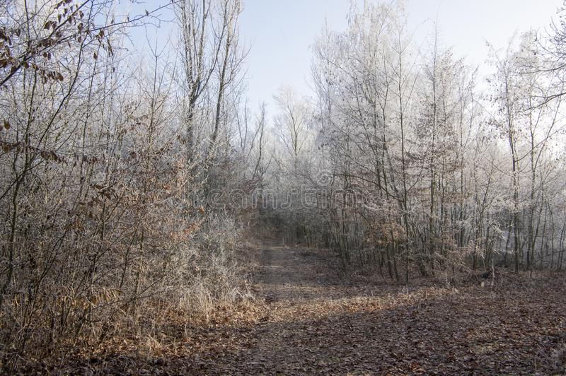Nemosicka stran, hornbeam forest - interesting magic nature place in winter temperatures, frozen tree branches stock photo