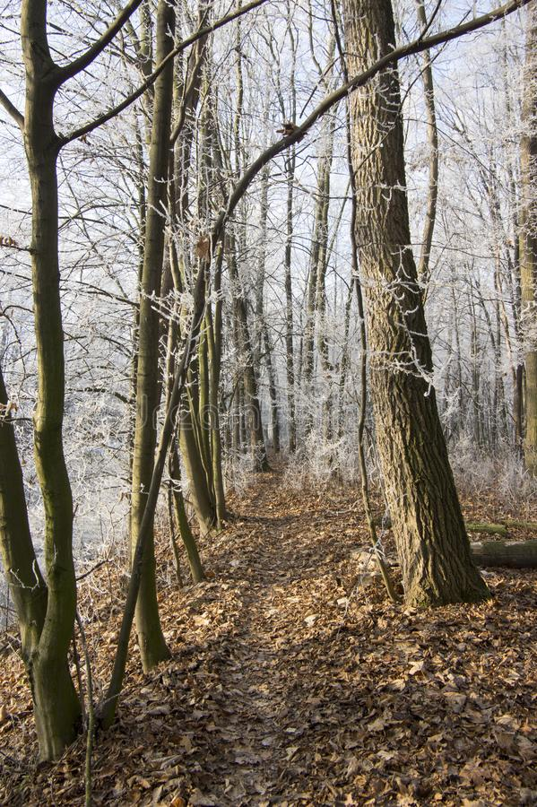 Nemosicka stran, hornbeam forest - interesting magic nature place in winter temperatures, frozen tree branches royalty free stock photo