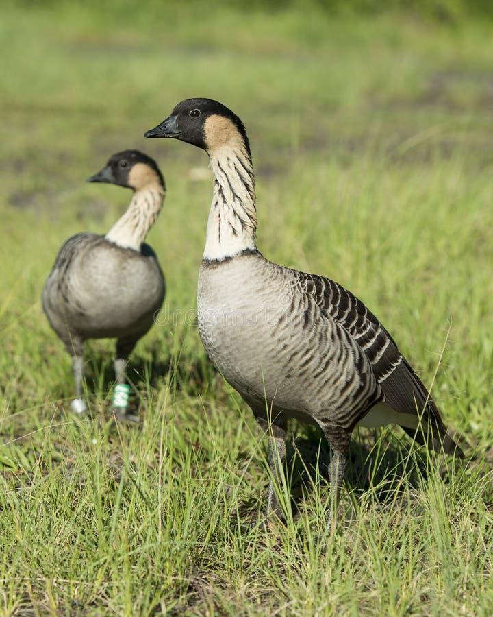 Nene Geese in Hawaï stock fotografie