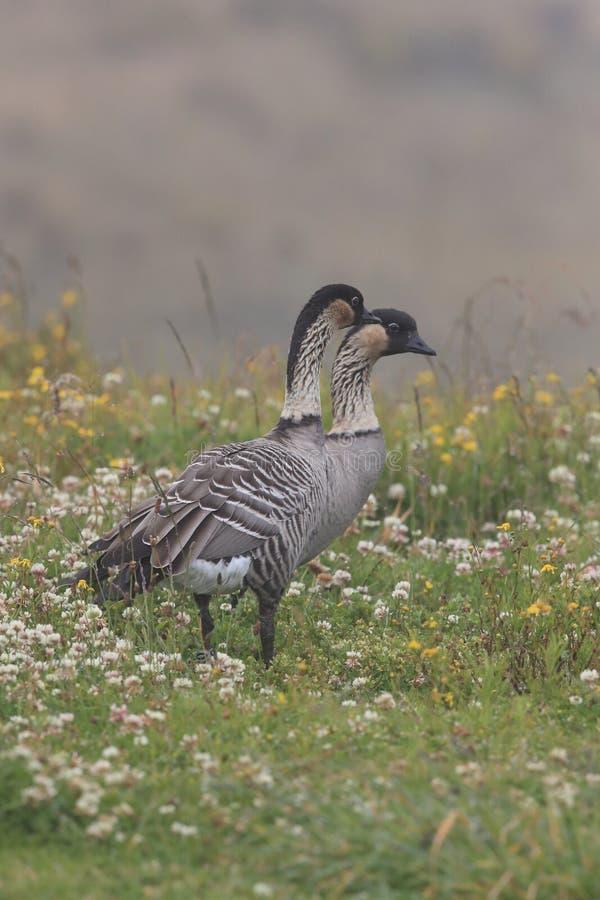 Hawaiian Goose or Nu00 u00 nu00 u00 | Beauty of Birds |Hawaiian Goose Branta Sandvicensis