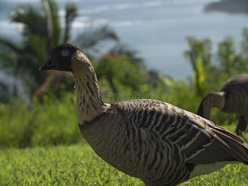 Nene Goose Hawaiian Native Bird stock afbeelding