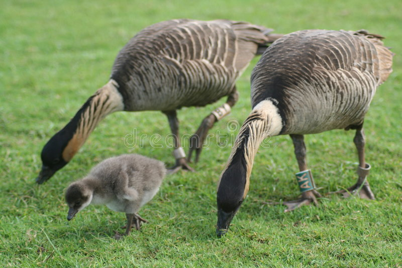 Download Nene gosling stock image. Image of geese, island, restricted - 6242547