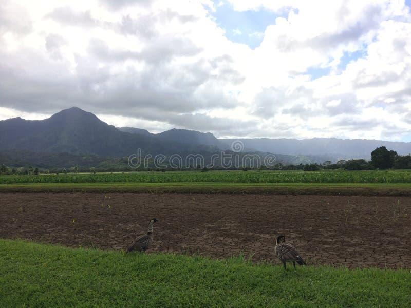Nene hawaiansk gås i Taro Fields i den Hanalei dalen på den Kauai ön, Hawaii fotografering för bildbyråer