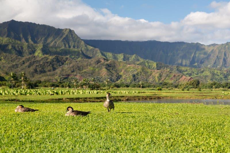 Neneganzen in Hanalei-Vallei op Kauai stock fotografie