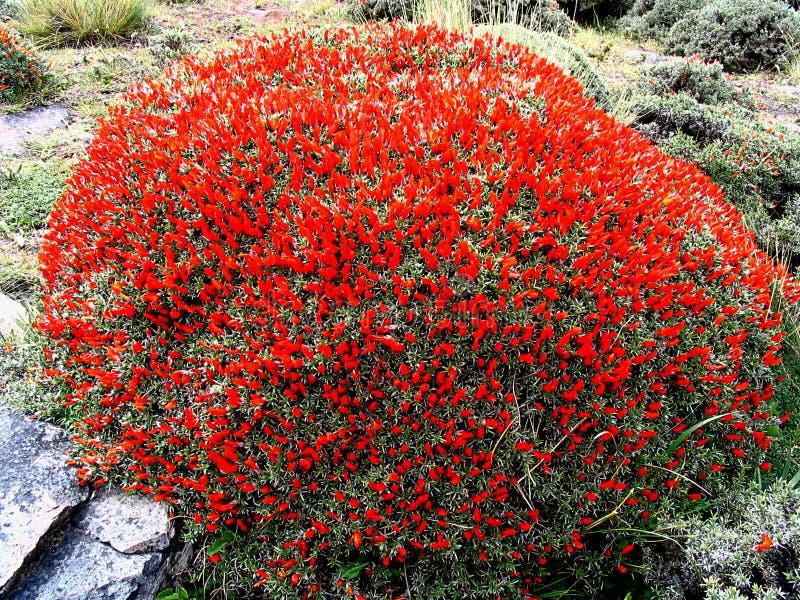 Neneo macho Anarthrophyllum desideratumflora i den Torres del Paine nationalparken, sydlig Patagonia, Chile royaltyfri bild