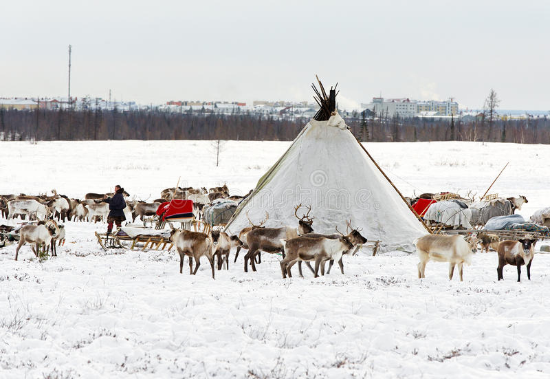 Nenets国籍Musher做游牧人阵营在郊外Labytnangi市 免版税库存照片