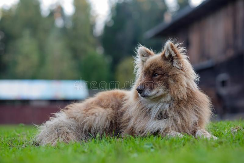 Nenets herding laika dog resting lying on the green grass stock photos