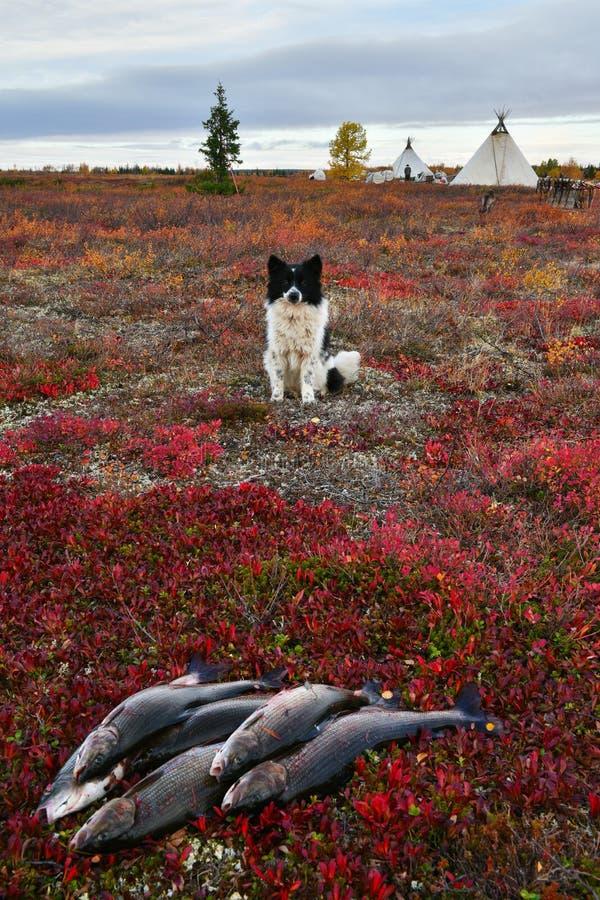 Nenets laik odpoczywa niedalekiego świeżego chwyta lipień, Biegunowy okrąg Rosja, Yamal półwysep obraz royalty free