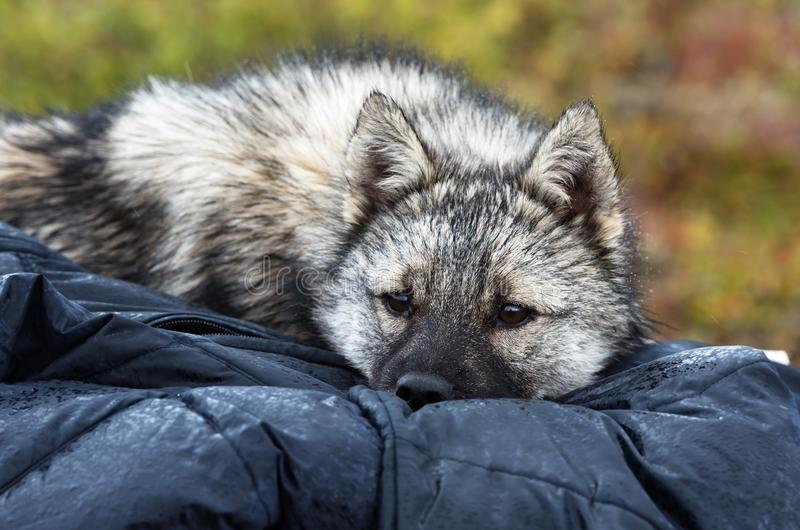 Nenets laika rests after a grazing of reindeer herd. stock photography