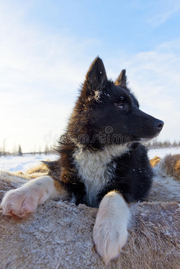 Nenets laika rests after a grazing of reindeer herd. royalty free stock photography