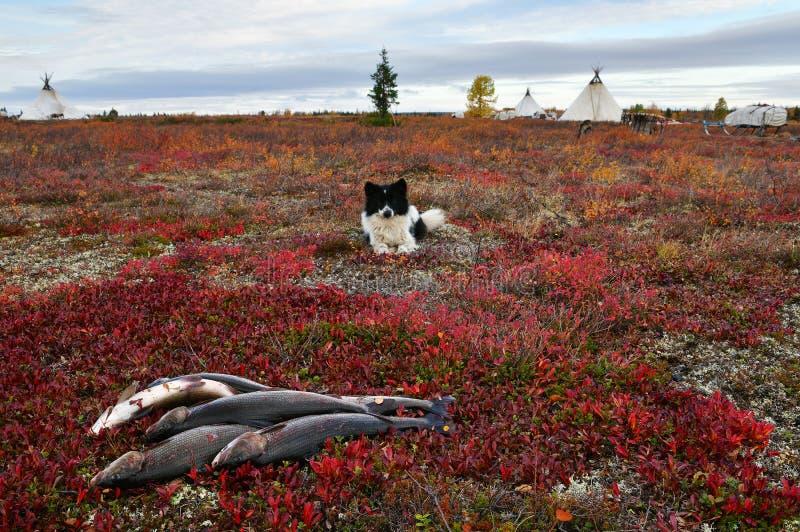 Nenets-laika steht nahe gelegenen frischen Fang von Grayling, Polarkreis von Russland, Yamal-Halbinsel still stockfotos