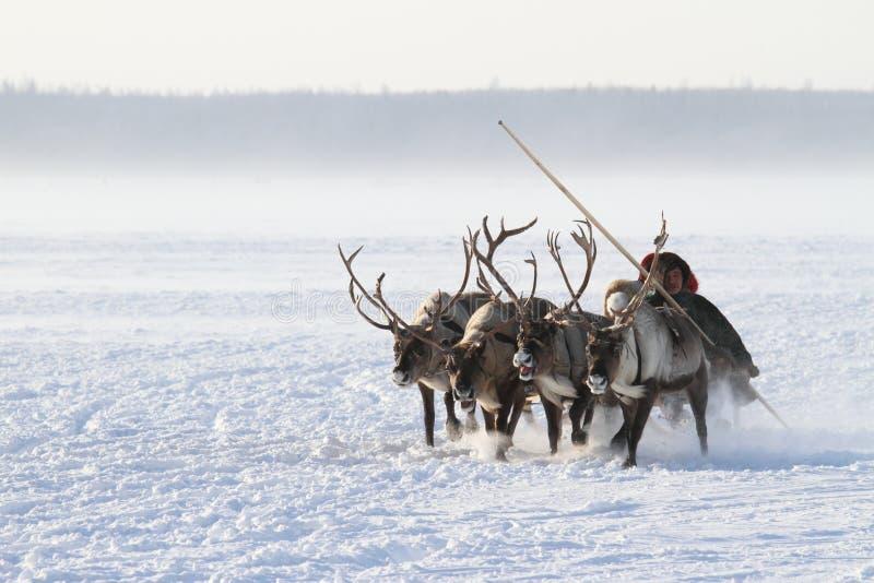 Nenets mężczyzna niesie reniferowego sanie jego rodzina wśród śnieżystej tundry Północny Syberia obrazy stock