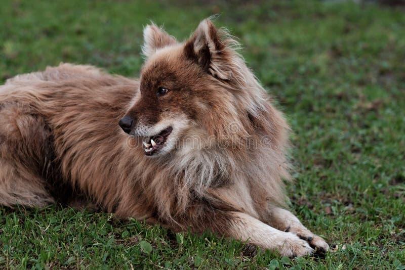 Nenets, welches das laika Hundestillstehende Lügen auf dem grünen Gras in Herden lebt lizenzfreies stockbild
