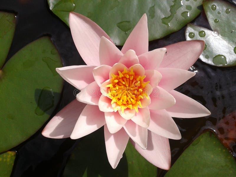 Nenufar blomma royaltyfria bilder