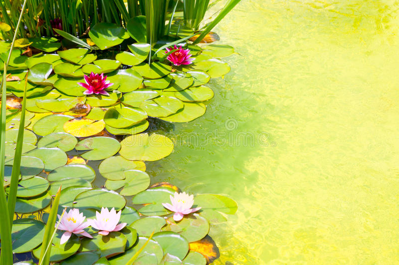 Nenufar Water Lilies On Green Water Pond Stock Photography