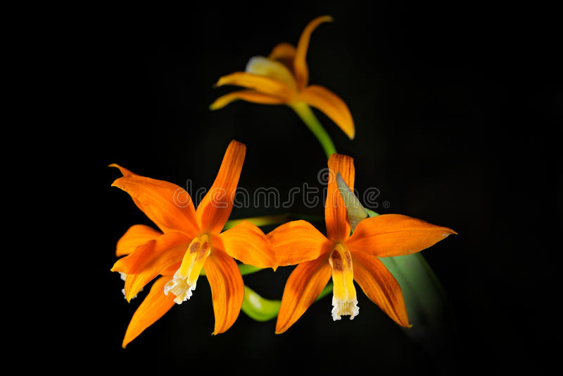 Neokautskyi selvagem de Cattleya da orquídea, floresta obscuro de Espirito Santos, Brasil Flor alaranjada, habitat da natureza Fl fotos de stock