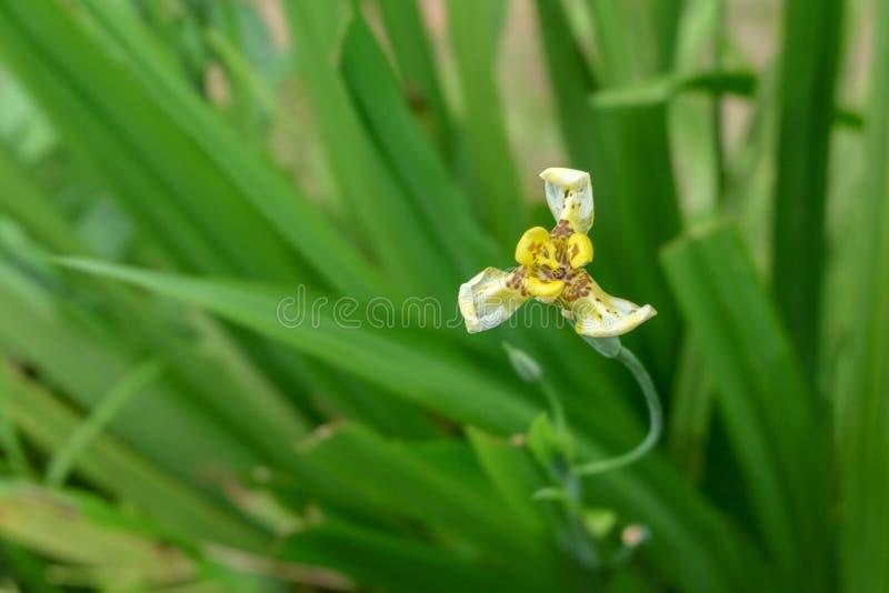 """Neomarica chodzący irys, apostoła irys lub imiona także używać dla powiązanego genus Trimezia, apostoł rośliny †""""jesteśmy genus zdjęcie stock"""