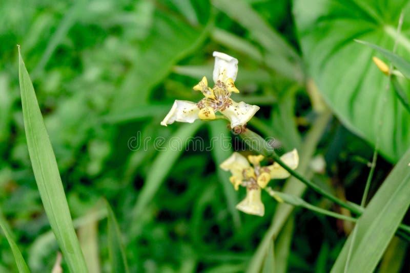 """Neomarica chodzący irys, apostoła irys lub imiona także używać dla powiązanego genus Trimezia, apostoł rośliny †""""jesteśmy genus obrazy royalty free"""