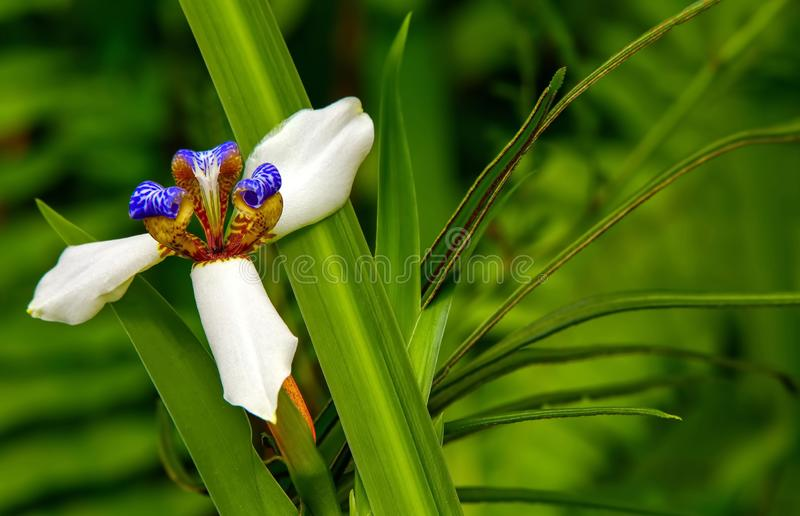 Walking iris flower in a tropical garden. Neomarica northiana also known as or walking iris in a tropical garden stock photo