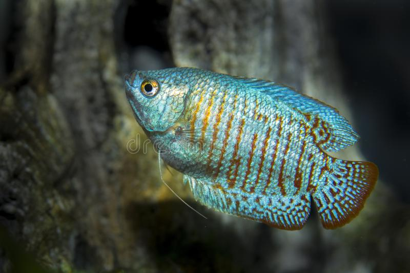 Neon Blue Dwarf Gourami. Fish among tree roots in the aquarium royalty free stock image