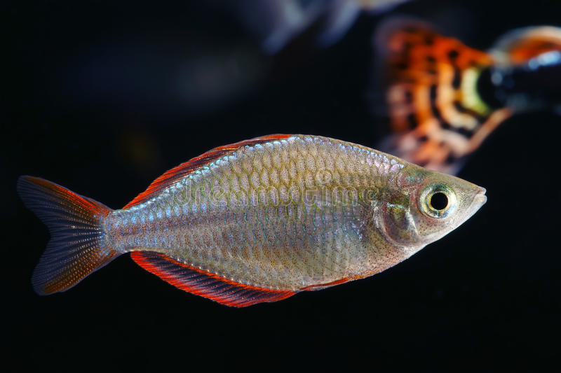 Neon dwarf rainbowfish stock image image of black male for Dwarf rainbow fish