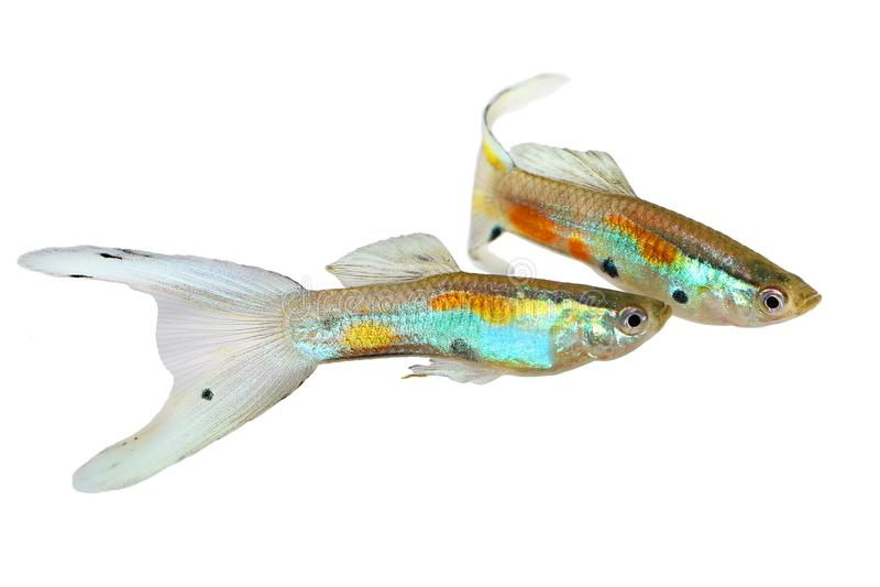 Neon Guppy | Neon Endler Guppy Double Swordtail Male Guppies Poecilia Wingei
