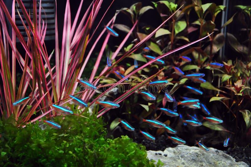 Neon Terta in Aquarium royalty-vrije stock foto