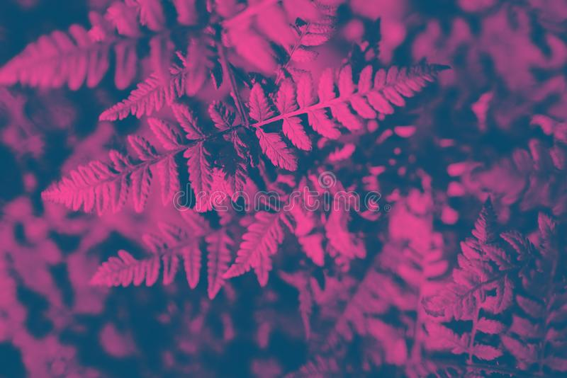 Neon toned fern leaves. In nature. Pink, light blue royalty free stock images