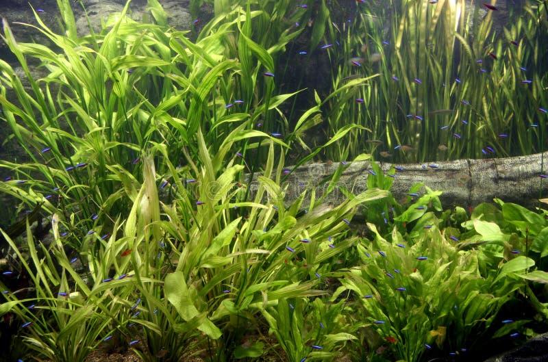 Neonfische lizenzfreies stockfoto